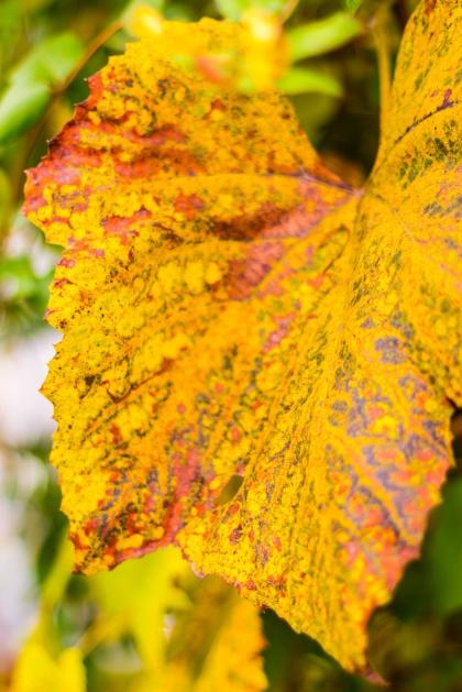 Dappled grape leaf
