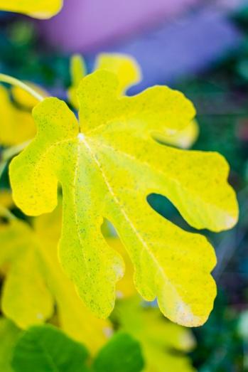 Yellow fig leaf