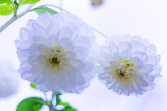 Two white dahlias