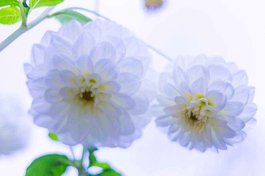 Two white dahlias