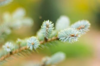 Silver pine needles