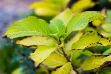 Hyacinth leaves