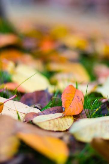 Fallen sour cherry leaves