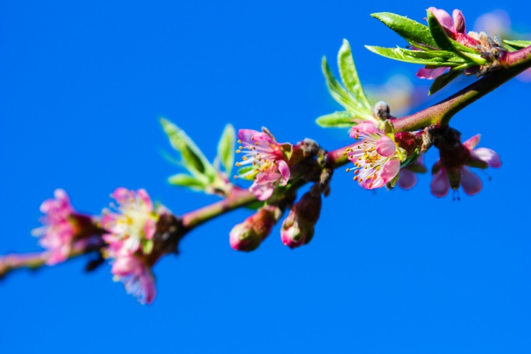 Peach blossoms