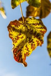 Paulownia leaf