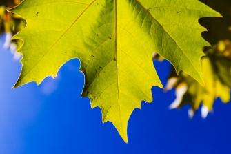 Platanus leaf