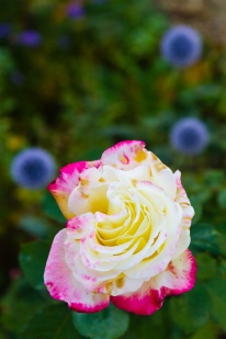 A rose and globe thistles
