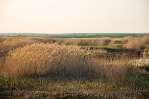 Reeds in the evening breeze