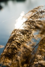 Reeds and sunlight