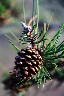 A pine cone