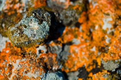 Lichen growing on a hillside rock in the region of Gura Dobrogei, Romania.