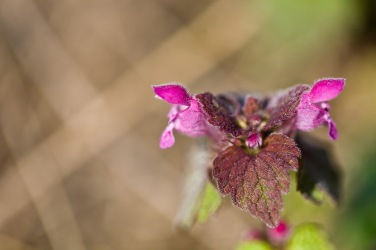 A flowering plant from the nettle family, in spring.