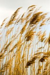 Windswept reeds