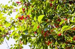 Ripe sour cherries