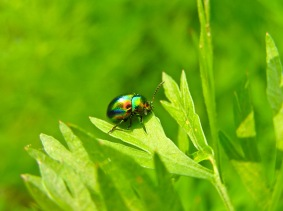 An iridescent beetle perched on parsley leaves.