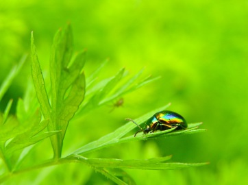An iridescent beetle suns itself on a parsley leaf. Medias, Romania.