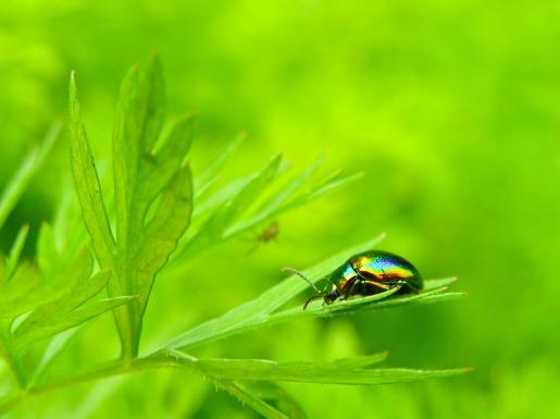 An iridescent beetle suns itself on a parsley leaf. Medias, Romania.