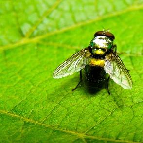 An iridescent fly suns itself on a grape leaf. Medias, Romania.