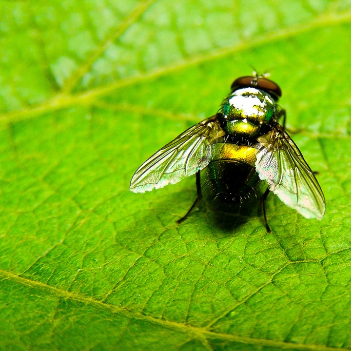 An iridescent fly suns itself on a grape leaf. Medias, Romania.