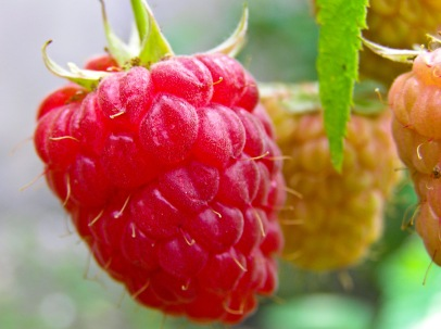 A raspberry ripens on the vine. Medias, Romania.