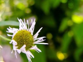 Tiny white flowers with stringy white petals. Medias, Romania.