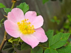 The delicate blossoms of a climbing rose bush open up in the soft morning light. Medias, Romania.