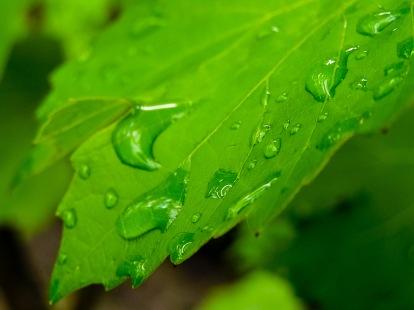 Droplets on a grape leaf