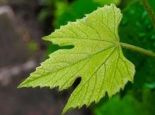Tiny grape leaf