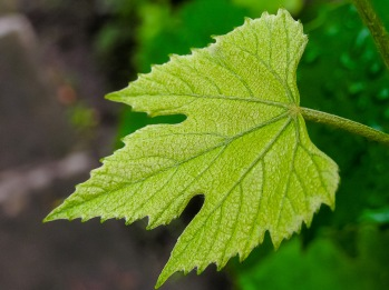 Tiny grape leaf