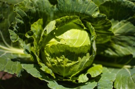 A head of cabbage