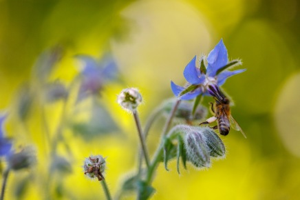 A bee gathers pollen