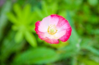 Pink-hued poppy