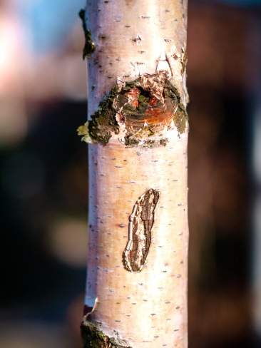 White birch trunk