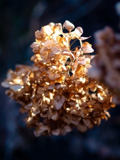 Dry hydrangea