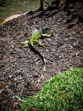 A large green lizard, Morikami Museum, Delray Beach, Florida, USA.