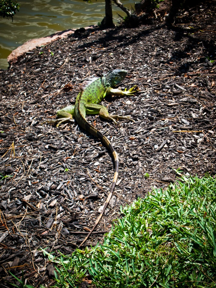 A large green lizard, Morikami Museum, Delray Beach, Florida, USA.