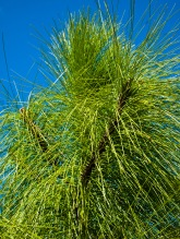 Pine needles, Morikami Museum and Japanese Gardens, Delray Beach, FL, USA.