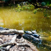 Turtles sunning themselves on a rock, in a pond at the Morikami Museum, Delray Beach, Florida, USA.