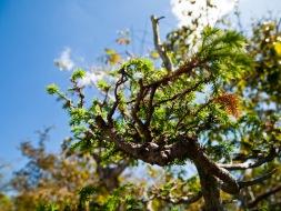 Underneath a bonsai tree branch, Morikami Museum and Japanese Gardens, Delray Beach, FL, USA.