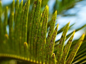 """Cycas revoluta (""""King Sago""""), a gymnosperm, with Asian cycad scale (Aulacaspis yasumatsui) -- a pest -- on its leaves. Morikami Museum and Japanese Gardens, Delray Beach, FL, USA."""