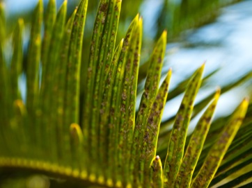 "Cycas revoluta (""King Sago""), a gymnosperm, with Asian cycad scale (Aulacaspis yasumatsui) -- a pest -- on its leaves. Morikami Museum and Japanese Gardens, Delray Beach, FL, USA."
