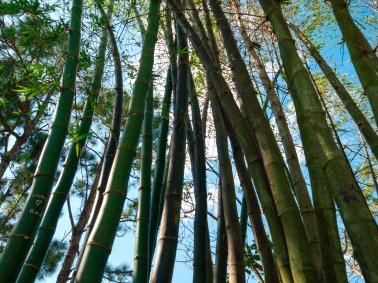 Bamboo tree stalks, Morikami Museum and Japanese Gardens, Delray Beach, FL, USA.