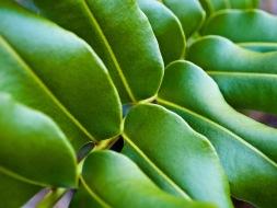 Leaves, macro, Morikami Museum and Japanese Gardens, Delray Beach, FL, USA.