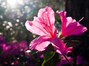 Azalea blossom, Morikami Museum and Japanese Gardens, Delray Beach, FL, USA.
