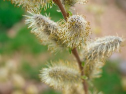 Willow flowers