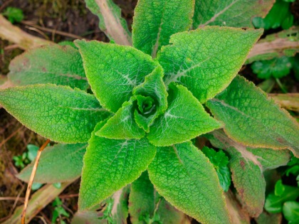 I call it fuzzy because of the fine hairs on the leaves of this developing comfrey plant