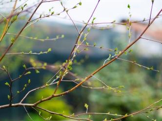 Silver birch branches