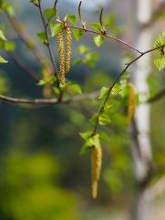 Silver birch flowers