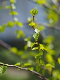 Silver birch leaflets