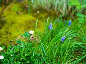 Daisies and grape hyacinths